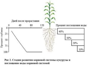 stadii-razvitiya-kornevoy-sistemy-kukuruzy-i-pogloshcheniya-vody-kornevoy-sistemoy